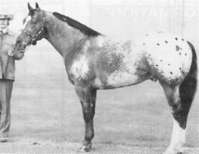 Sir Wrangler - Appaloosa Stallion